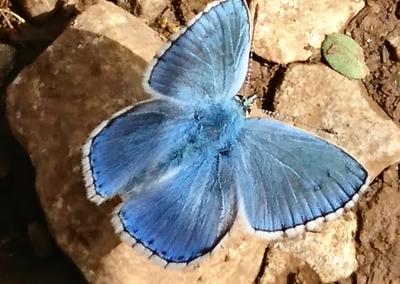 papillon bleu 2